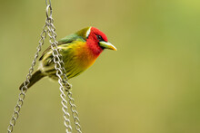 The Red-headed Barbet (Eubucco...