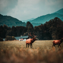 A Bull Elk In The Mountains Of...