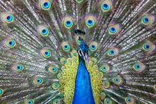 Portrait Of Beautiful Peacock....