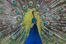 Portrait Of Beautiful Peacock. Close-Up Of Peacock With Fanned Out Feathers.