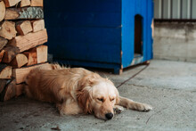 Golden Retriever Dog Sleeping In Front Of His Dog House