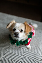 Small Dog In Her Christmas Sweater And Wreath Collar