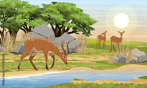 Fototapeta A herd of Cob antelopes on the bank of a shallow river