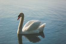 Tranquil Scene Of An Elegant Swan With Orange Beak At Water