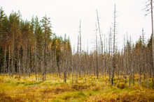 Yellow Grass And Dead Tress Forest. Karelia Russia
