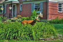 Doe Deer Walking Through A Residential Neighborhood