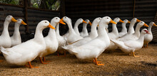 Ducks Stand Looking In Farm. W...