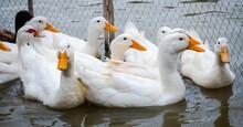 Ducks Swimming On Water. White...