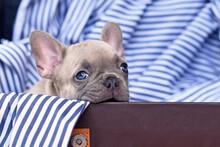 Cute Lilac French Bulldog Dog ...