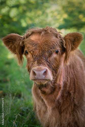 Baby Highland Cow Looking at the Camera in Pollok Country Park in Glasgow Scotland