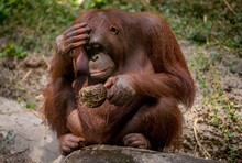 Orang Utan, A Type Of Primate Living In The Forest In Borneo,Indonesia Thinking About Something