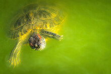 Wild Turtle And Polluted Green...