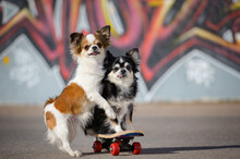 Two Funny Little Chihuahua Pets Animals Dogs Sitting On Sport Skateboard On Graffiti Urban Background During Outdoor Leisure Activity