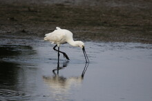 Spoonbill Fishing And Preening In The Shallows At The Lake Edge