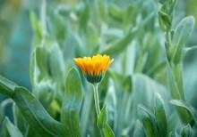 Bright Orange Calendula Flower...