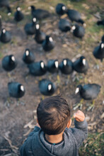 Little Boy Feeding American Coot Birds