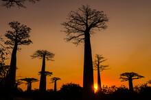 Silhouette Of Baobab Trees At Sunset In Morondav, Madagascar