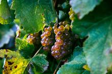 Bunch Of Grape For Txakoli Win...