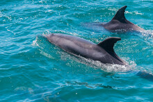 Pair Of Dolphins In Bay Of Isl...