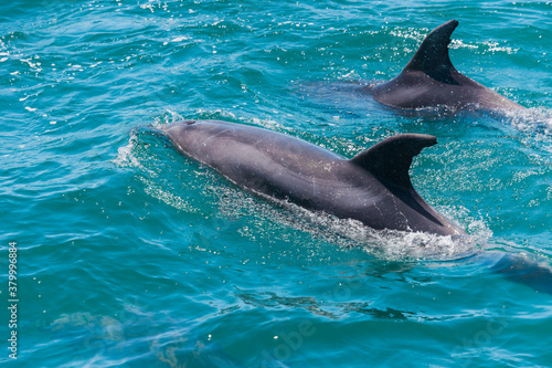 Pair of dolphins in Bay of Islands, New Zealand Slika na platnu