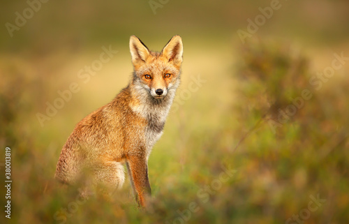 Valokuvatapetti Young red fox in autumn against yellow background