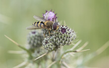 Syrphus Species Dipterous Of The Family Of The Hover Flies With The Appearance Of A Bee Although It Is A Fly Perched On A Purple Thistle On An Unfocused Green Background