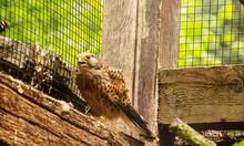 The Common Kestrel Is A Bird O...