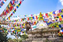 Rhesus Macaque At Swayambhunat...