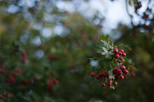Red Hawthorn Berries On Branch...