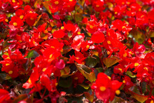 Summer Flowers Impatiens Walle...
