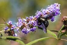 The Violet Carpenter Bee, A La...