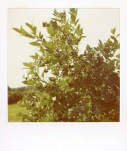 Polaroid Image Of Ripe Blueberries Ready For Picking