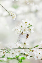 A Plum Tree Branch In Bloom And A Worker Bee