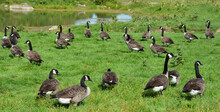 In Field Canada Geese Group Of...