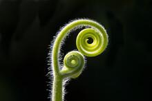 Spiral Stem Of Plant