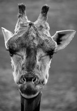 The Giraffe Close Up (Giraffa ...