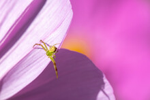Green Spider On A Petal