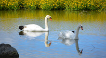 White Swans Are Birds Of The F...