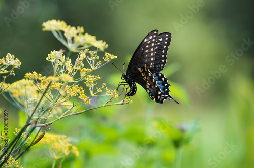 Fotografie, Obraz Black Swallowtail butterfly (Papilio polyxenes) laying eggs on flowering dill pl