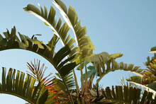 Large Banana Leaves Against A Bright Blue Sky