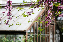 Judas Tree Flowering In Front Of A Glasshouse