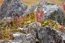 An Arctic Ground Squirrel (Spermophilus Parryii) Watches Cautiously For Any Danger