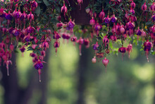 Purple And Pink Fuchsia Flowers Hanging From Planter