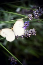 Blurry White Butterfly Behind Lavender Flowers