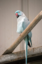 The Indian Blue Ring Necked Parrot Is On A Perch