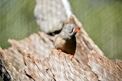 Fotografía the zebra finch is emerging from a hollow log