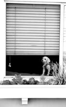 Dog Wearing Vest Sitting In Open Window Looking Out