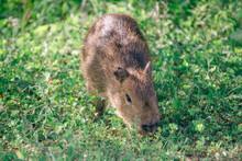 Capybara Offspring On Grass Field
