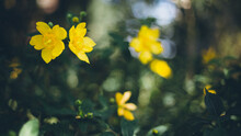 Blurry Shot Of Hypericum Perforatum Bush In Bloom