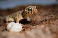 Chinese Wonder Gecko